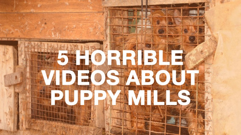 Horrible Videos of Puppy Mills