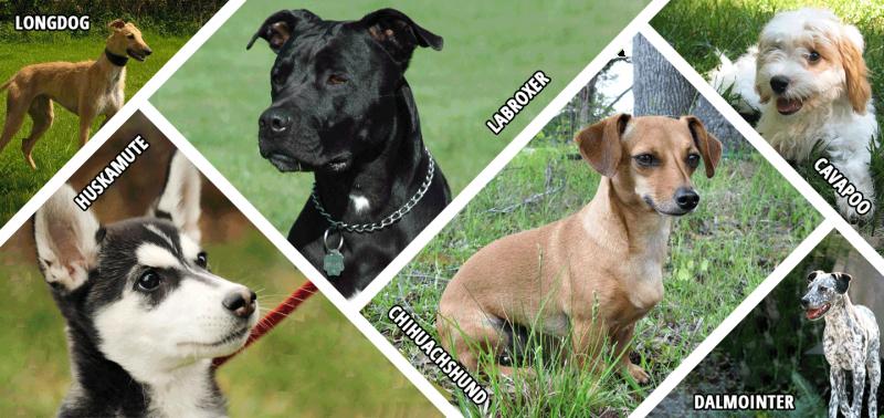 Hybrid Dogs, Designer Breeds and Mongrel