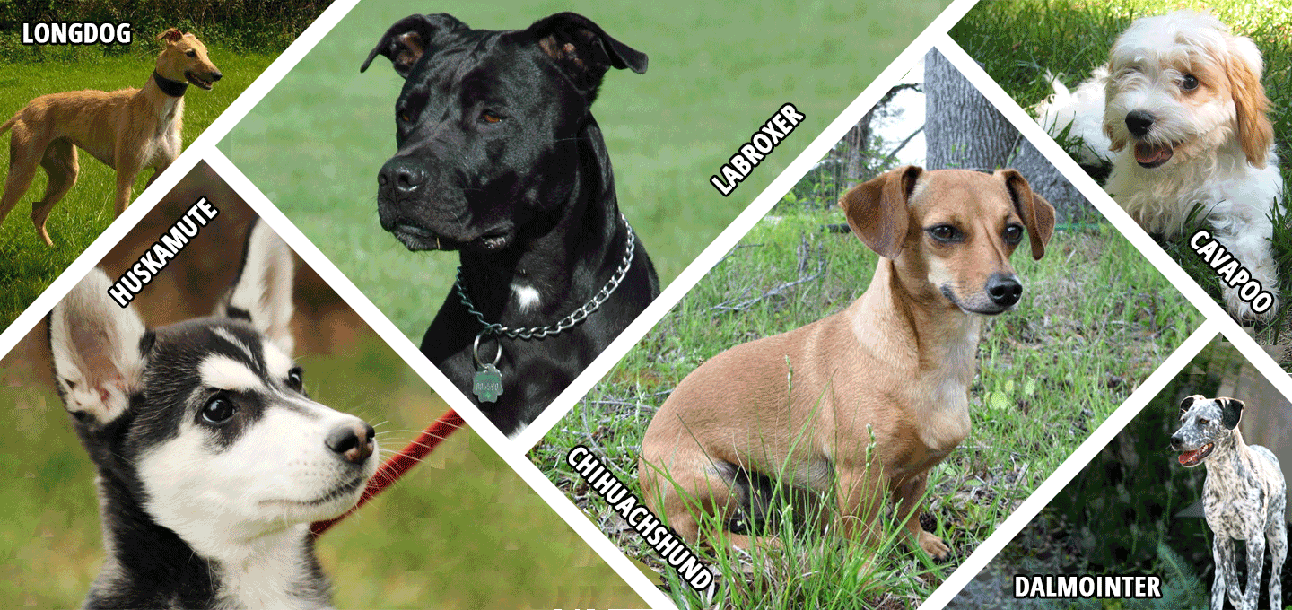 List Of 600 Hybrid Dog Breeds With Their Name Mix