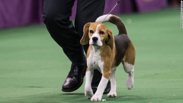Beagle Miss P Westminster Dog Show