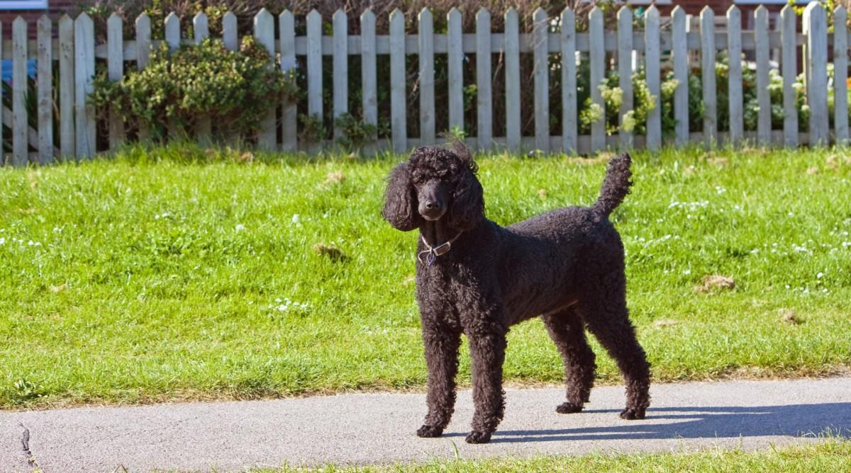 Hypoallergenic Black Poodle Dog