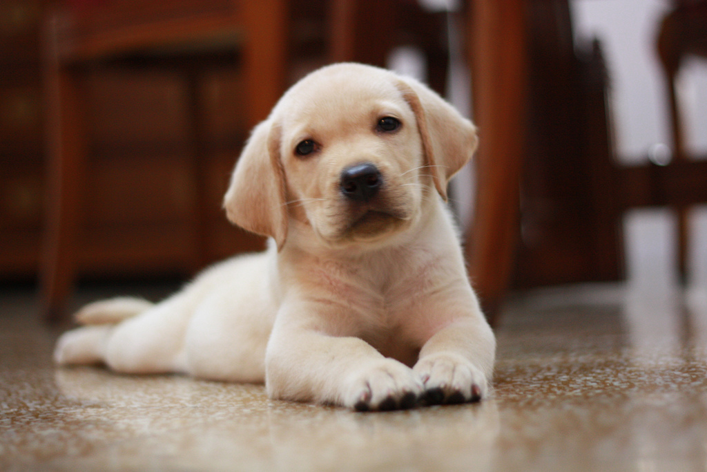 Labrador Puppy Waiting For Its New Owner