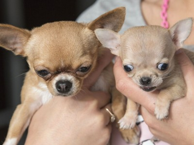 Toudi, the world's smallest dog (chihuahua)