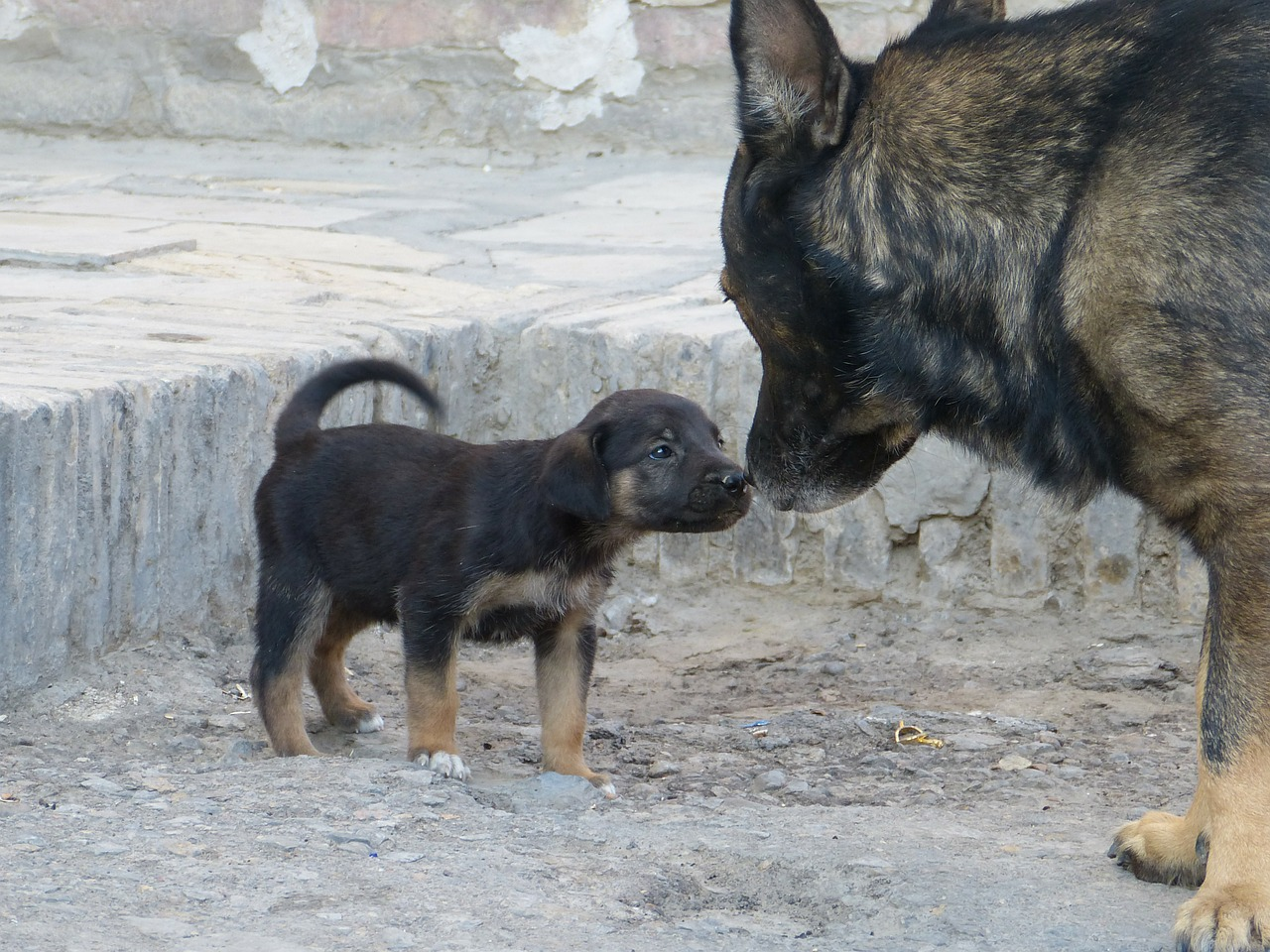 German Shepherd Mother With Puppy