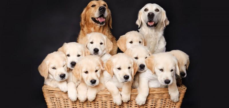 Genetics, Parents & Environment in Dog Breeding