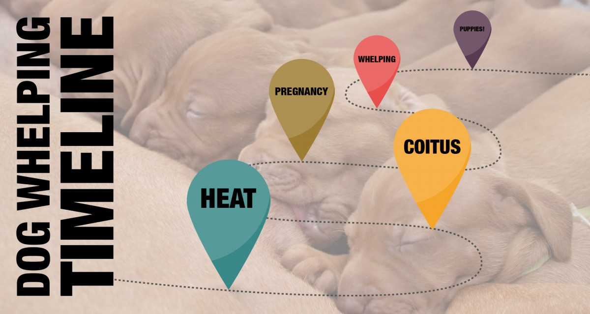 Dog Whelping Timeline