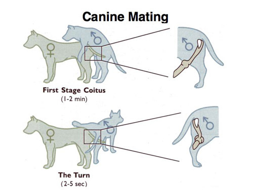 Dog Mating First Stage Coitus