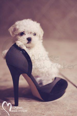 Micro Maltese Dog Breeder Heels
