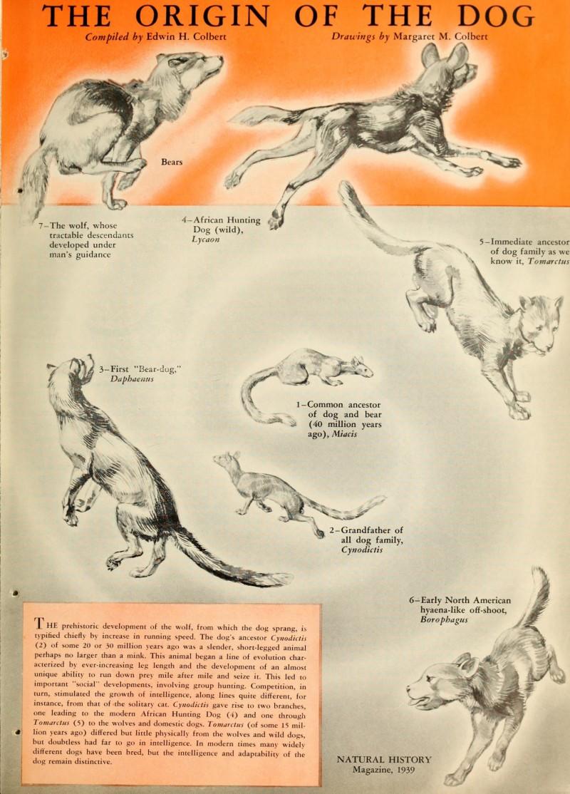 THE ORIGIN OF THE DOG