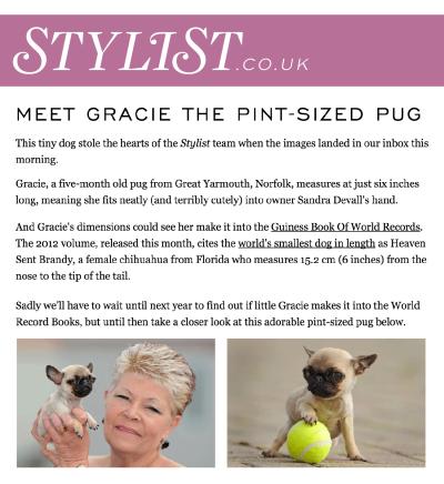 Gracie, tiny pug.