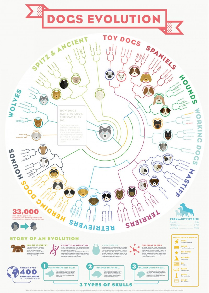 Dogs Evolution From The Grey Wolf