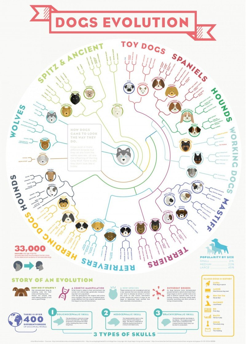 Dog Breeds - Evolution From The Grey Wolf
