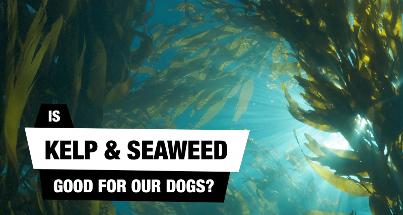 Is Kelp For Dogs a Good Thing?