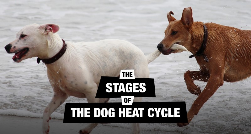 The Stages of The Dog Heat Season Cycle