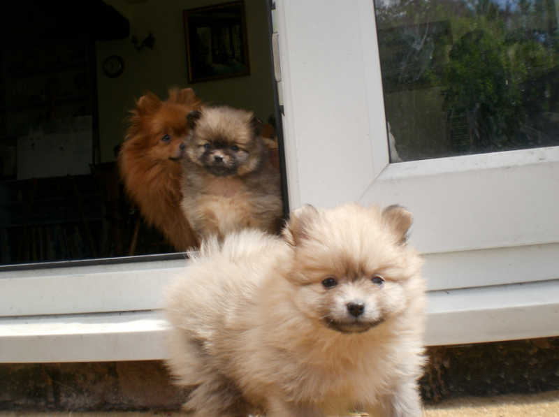 6 week old pomeranian puppies litter