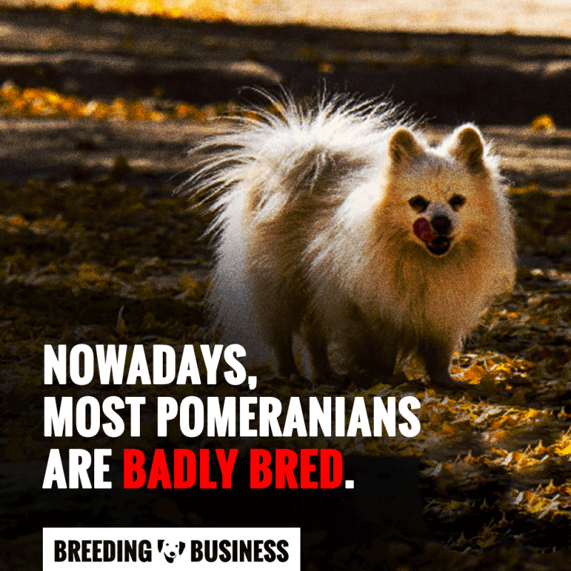 pomeranian dog breeding