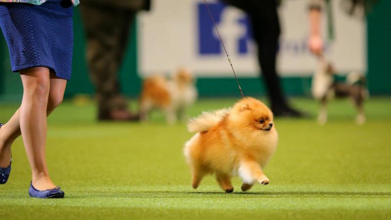 Pomeranian Champions Competition Winner