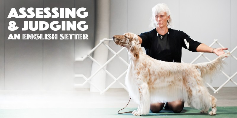 Assessing & Judging An English Setter Dog