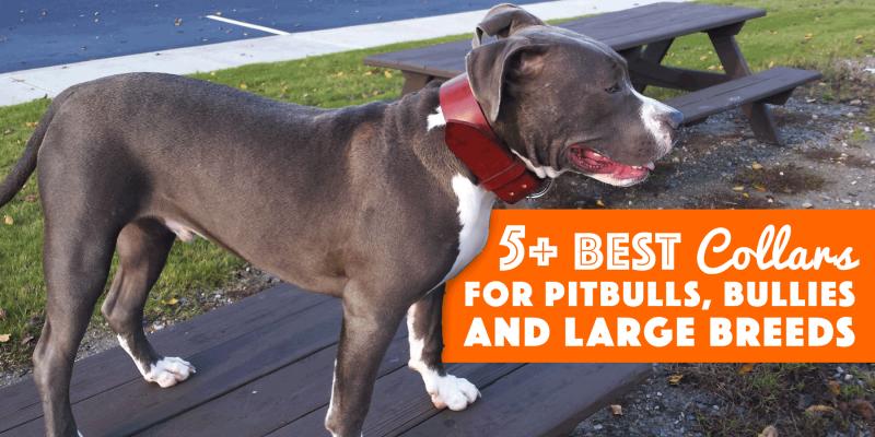 best pitbull collars for bullies mastiffs large breeds