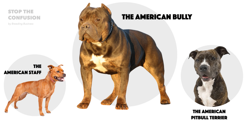 differences between amstaff, pitbull and bully.