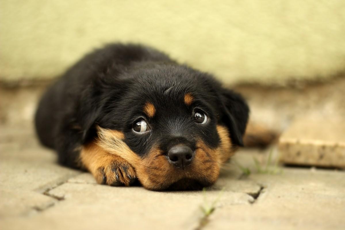 sad puppy rottweiler