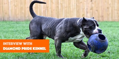 healthy xxl bullies with amazing looks & temperament