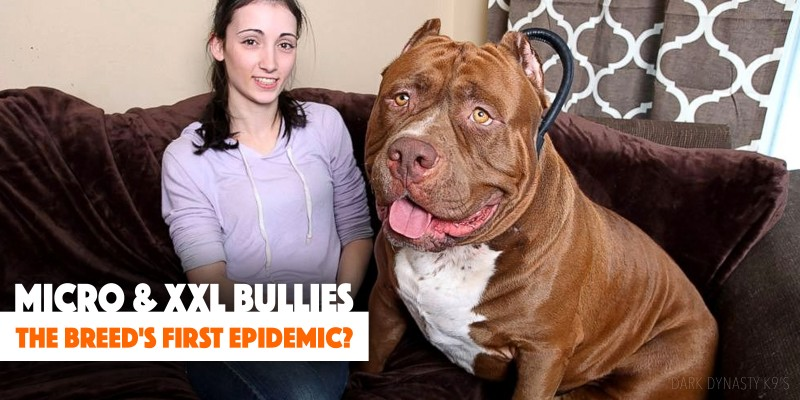 Micro Xxl Bullies Is This The Breed S First Epidemics