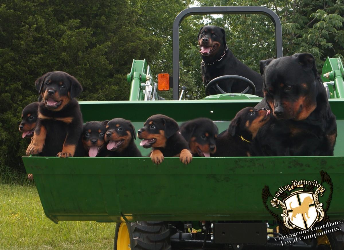 rottweiler puppies truck farm