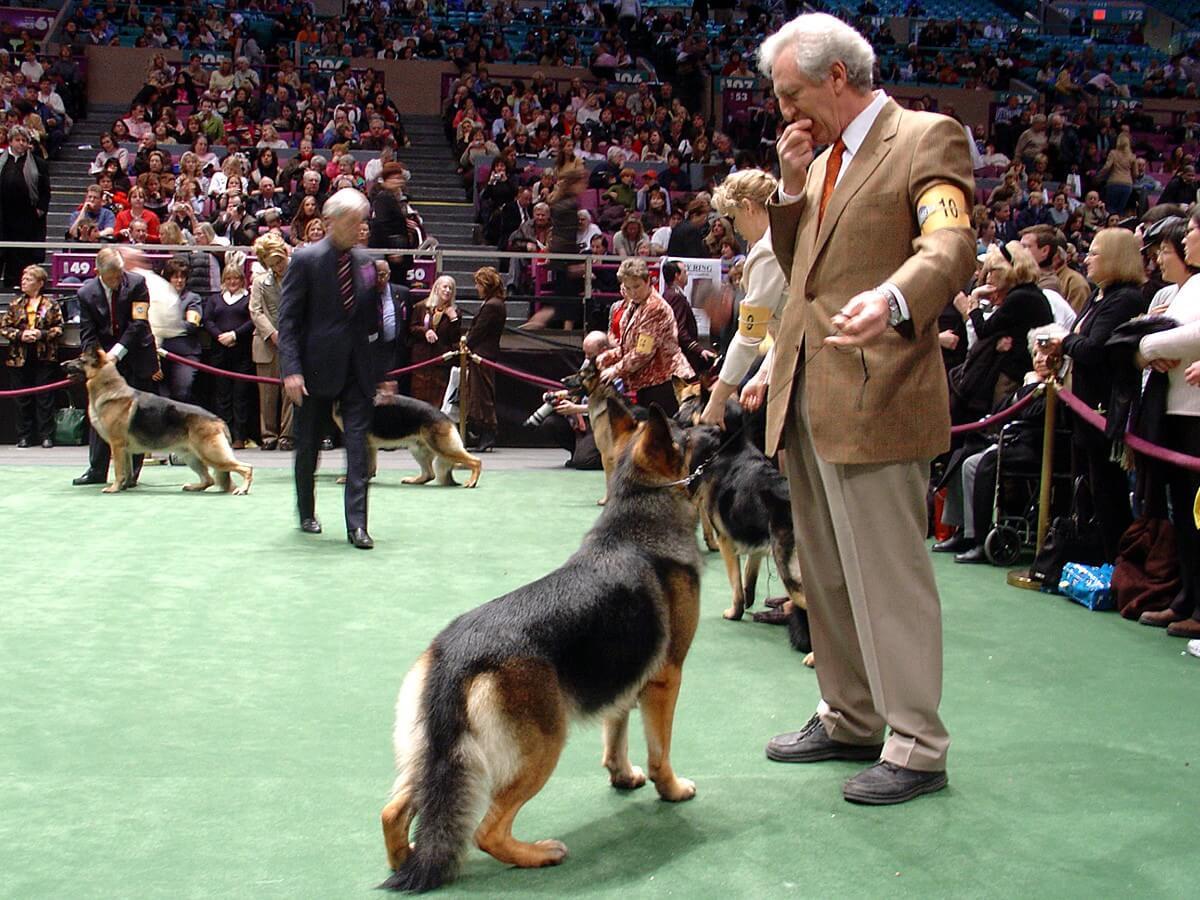 German Shepherds WKC dog show