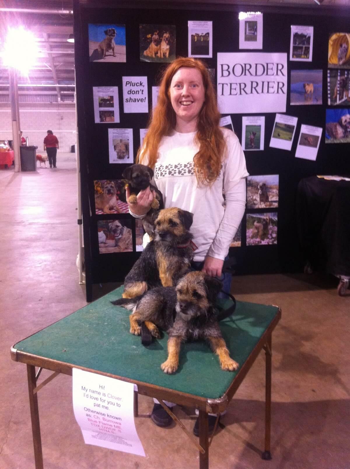 border terrier dog show
