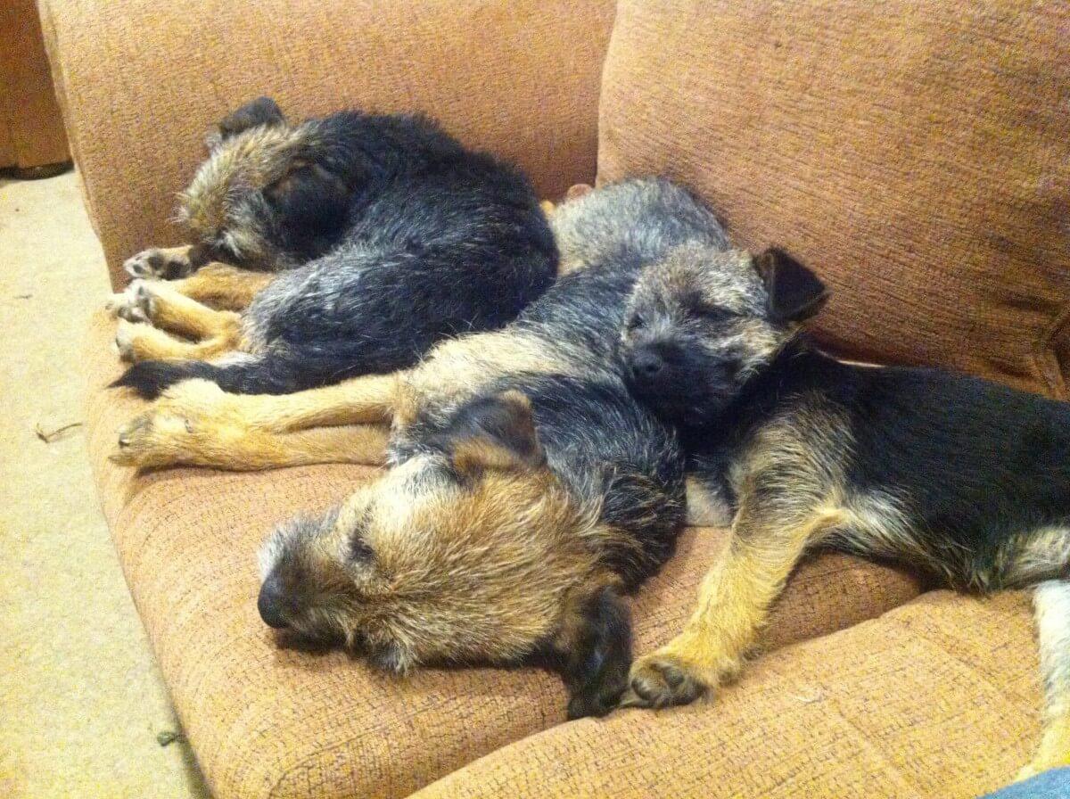 Tegan's Border Terriers sleeping