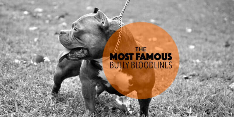 The Most Famous American Bully Breeders Bloodlines