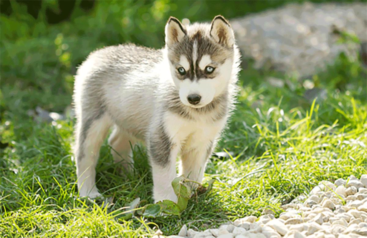 miniature husky puppy mini husky