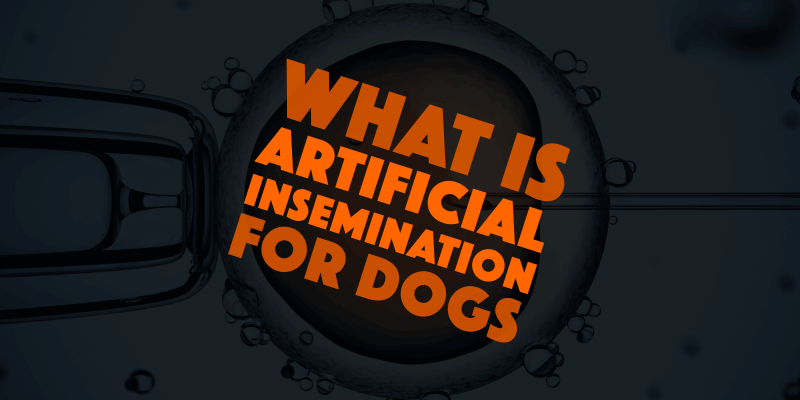 artificial insemination for dogs