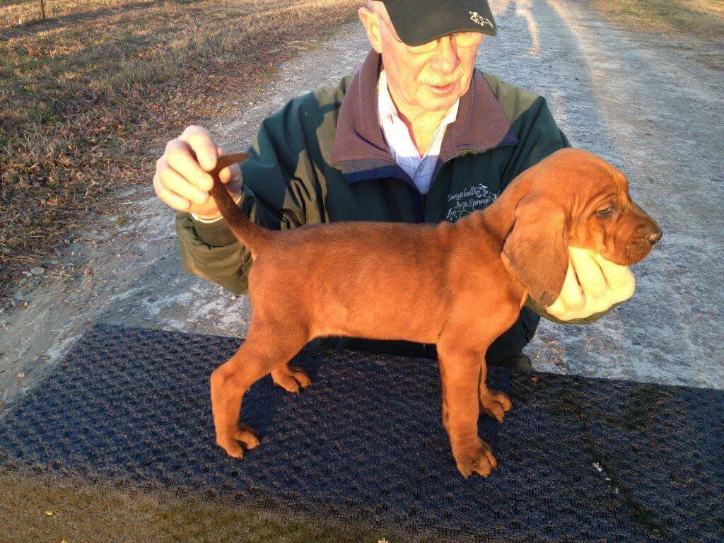 young timber chopper coonhound