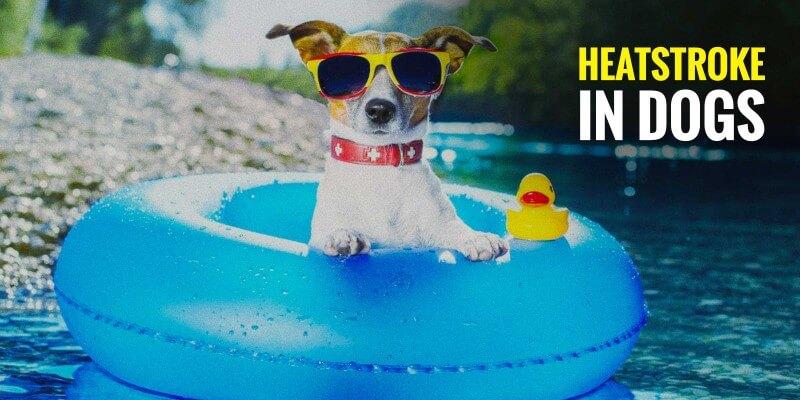 heatstroke in dogs