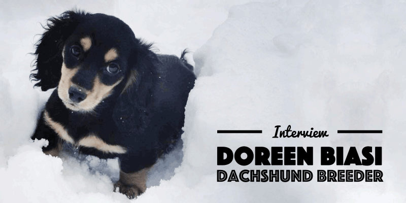 Dachshund Interview Doreen Biasi From AKCDachshundNY