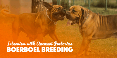 breeding boerboels