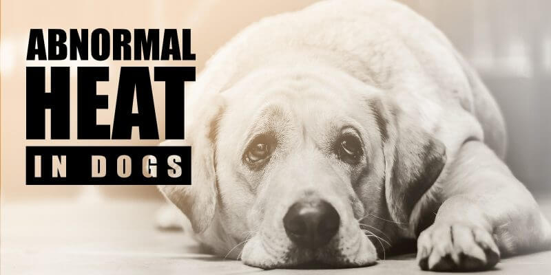 silent heat in dogs and abnormalities