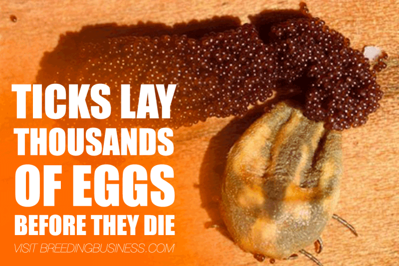 tick laying eggs
