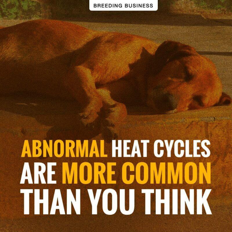 dog heat cycle problems