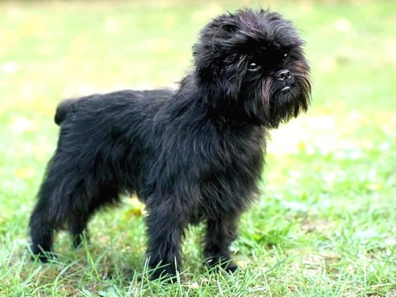 black brussels griffon