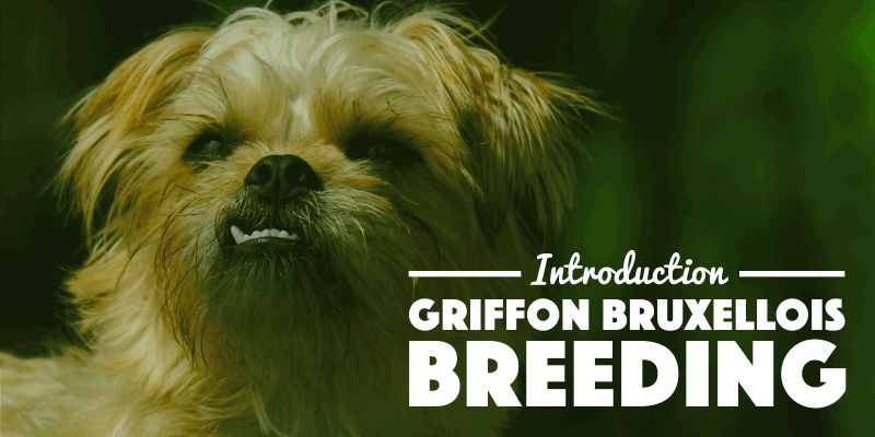 Introduction To Breeding Griffon Bruxellois