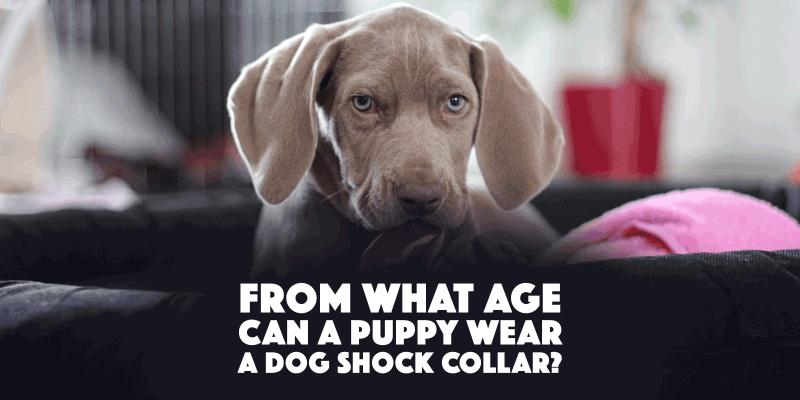 puppy shock collar age
