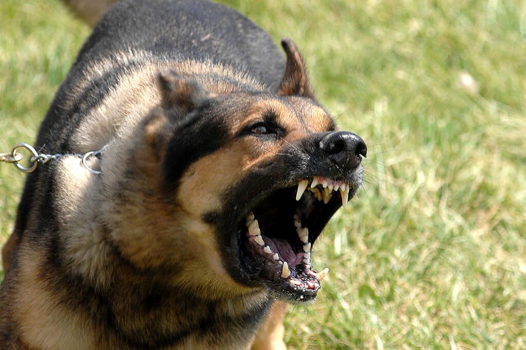 german shepherd dog barking outside