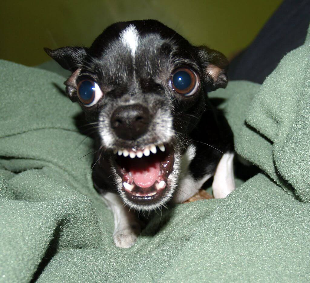 aggressive chihuahua dog