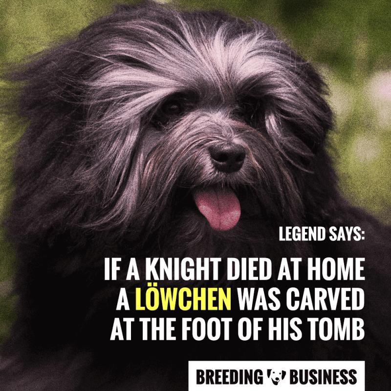 Lowchen Dog Breed Origins