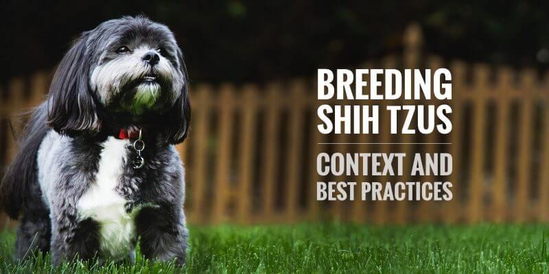 breeding shih tzu dogs