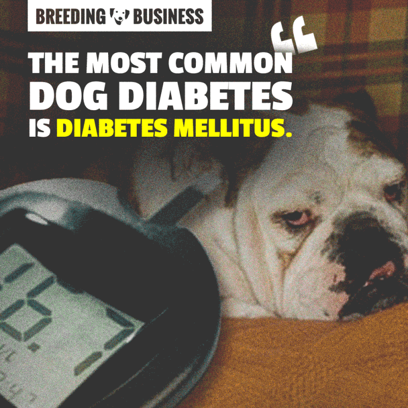 The most common of the three is diabetes Mellitus, often referred to as the sugar diabetes.