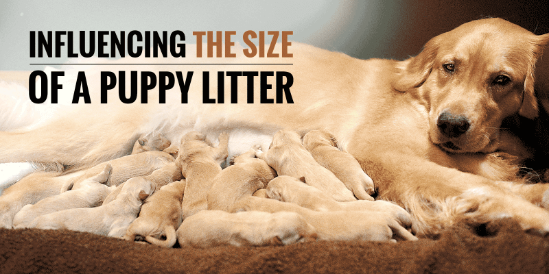 influence the size of a litter of puppies